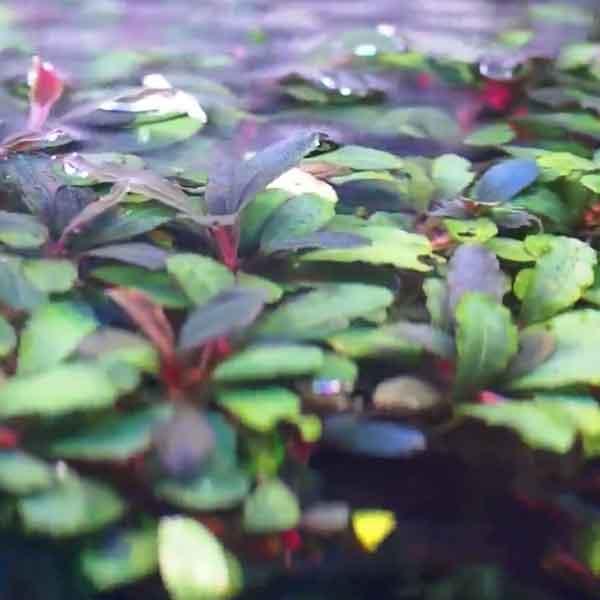 planta de rio con rizoma