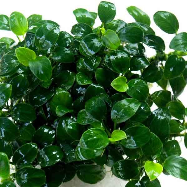 planta madre rizoma