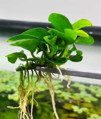 planta con rizoma y raices