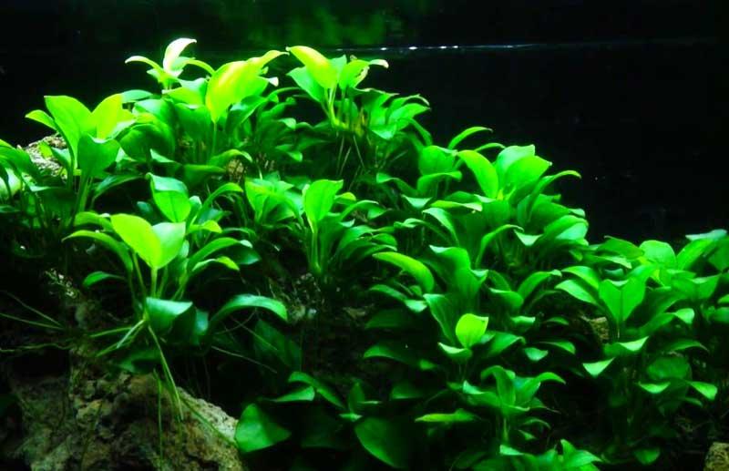 plantas de rizoma acuario