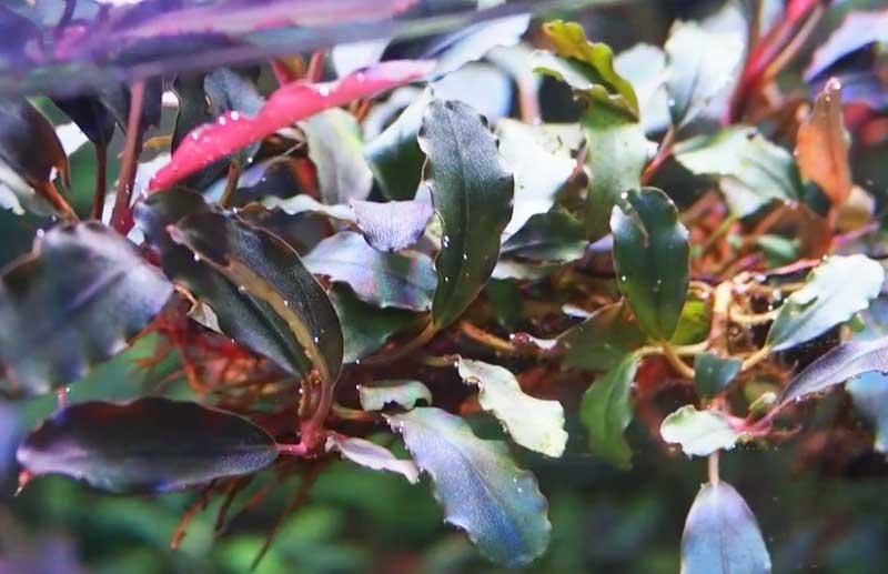 que es una planta de rizoma acuatica