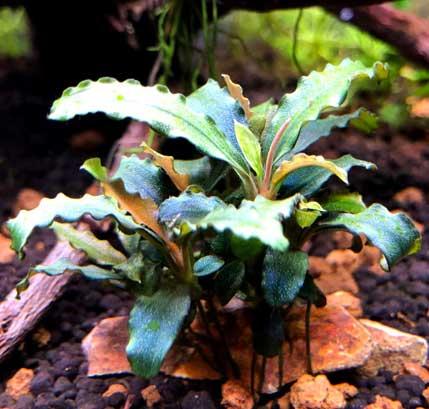 ficha de bucephalandra