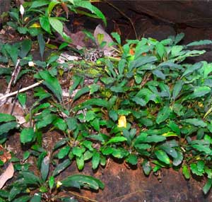 bucephalandra variedad gigantea la mas grande