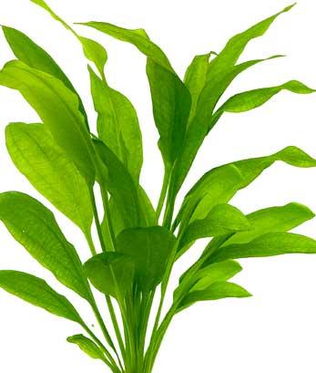 cultivo de echinodorus bleheri