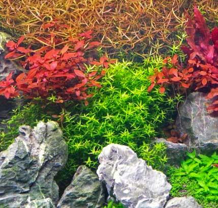 rotala planta acuario