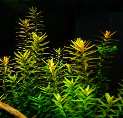 rotala rotundifolia guia