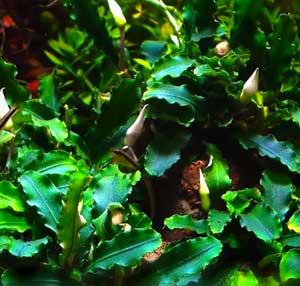 buce wavy green cuidados