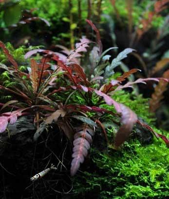 hygrophila pinnatifida poda