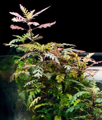 como plantar hygrophila pinnatifida