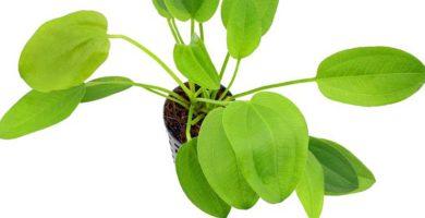 plantas sin tallo