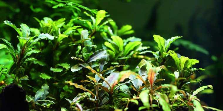 plantas de rizoma para acuarios