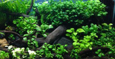 cuidados de las anubias en el acuario