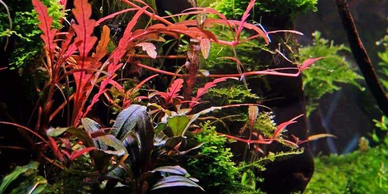 color de la hygrophila pinnatifida