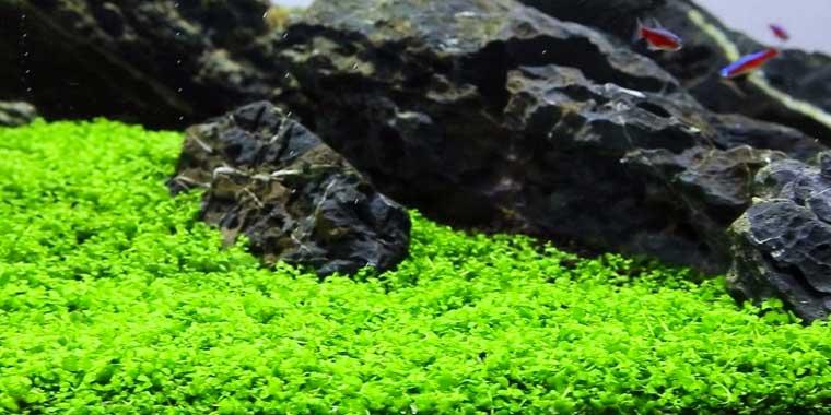 planta tapizante monte carlo