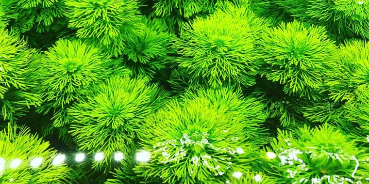 planta acuatica de tallo