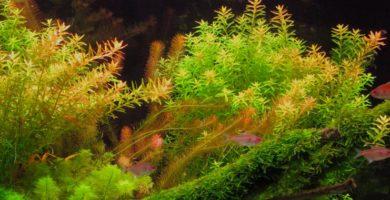 ficha de la rotala rotundifolia