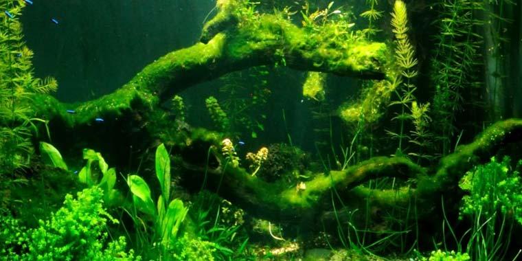 como eliminar algas en el acuario