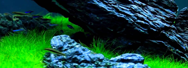 eleocharis parvula mini