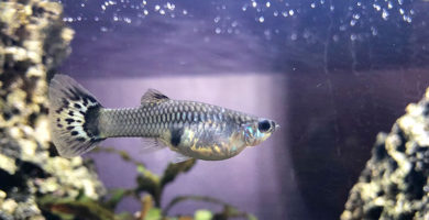 pez de agua dulce guppy