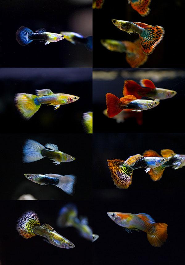 especies de pez guppy