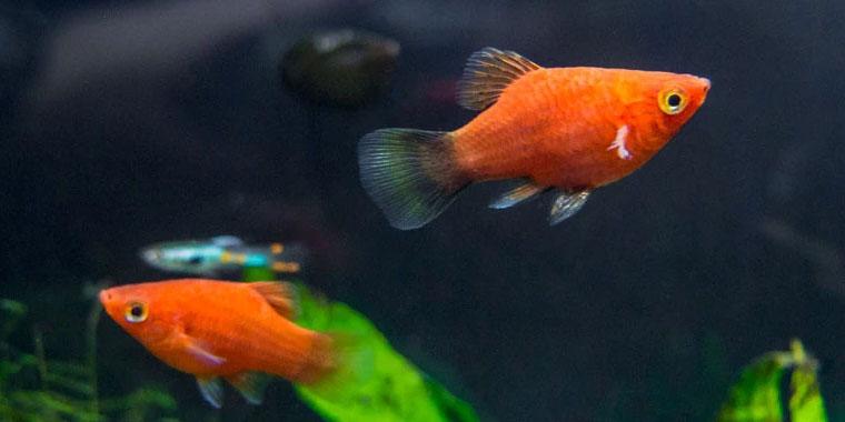 informacion pez platy acuario