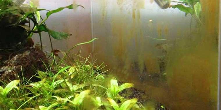 como eliminar alga diatomea en acuarios