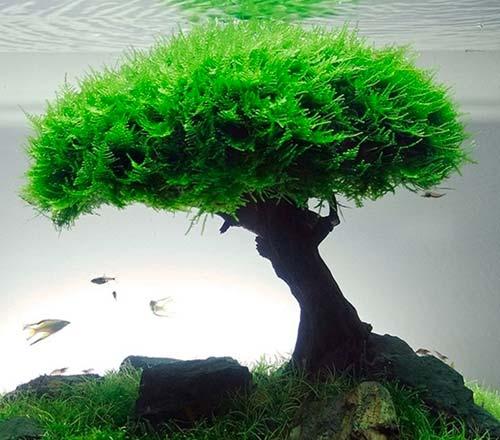 como plantar musgo de java