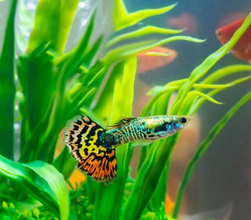pez agua dulce facil