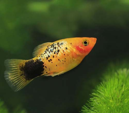pez tropical para principiantes