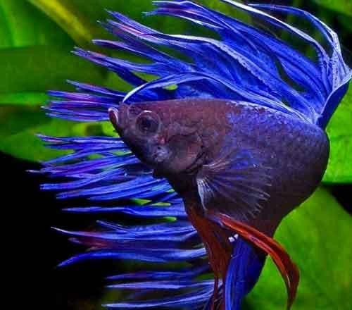 variedad pez betta corona