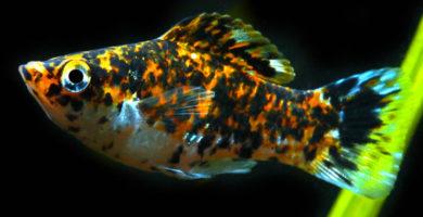peces molly macho y hembra