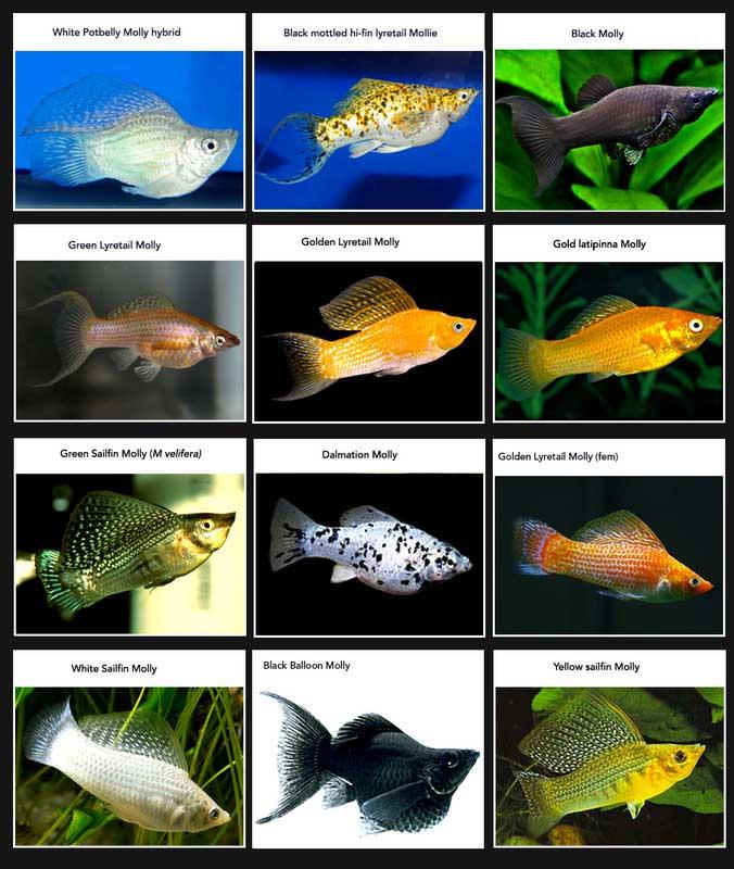 variedades de peces molly