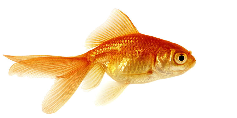 ficha del pez goldfish