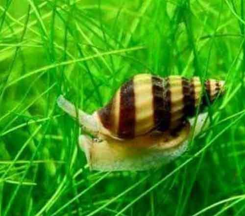 caracol para evitar plagas de caracoles