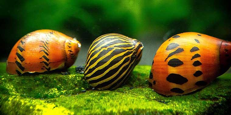 cuidados caracoles acuario