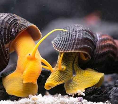 caracol grande acuario