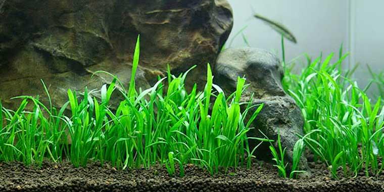 cuidados de la lilaeopsis