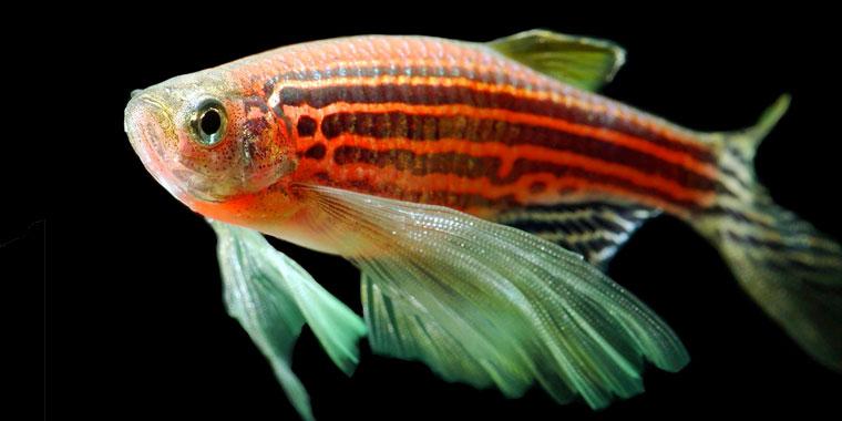 variedades del pez cebra