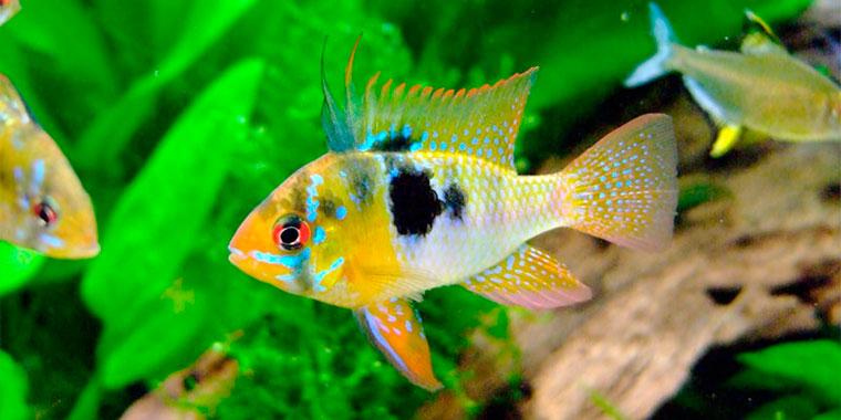 ficha del pez ramirezi