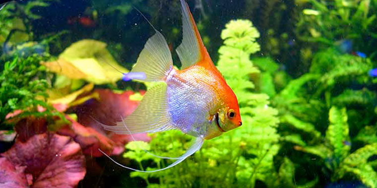 ficha del pez angel