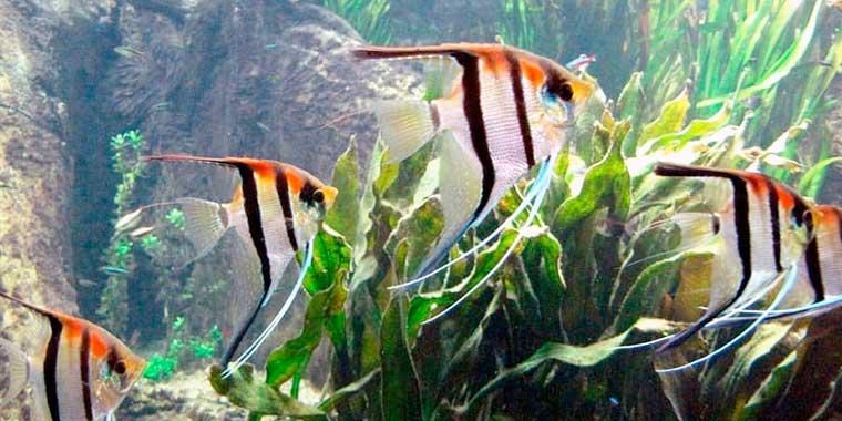 cuidades del pez escalar