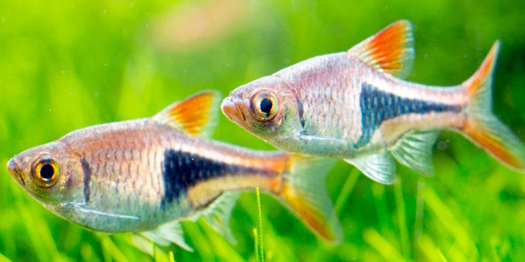cuidados del pez arlequin