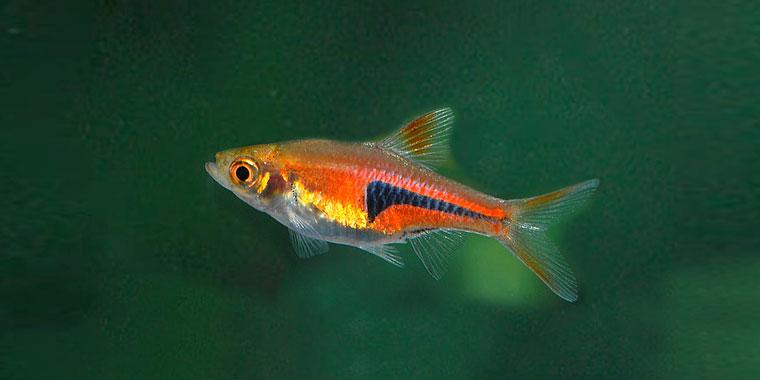 ficha del pez arlequin