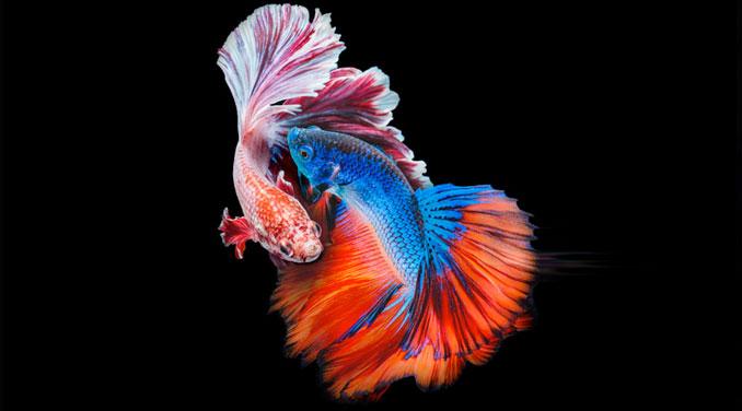 como se aparean los peces