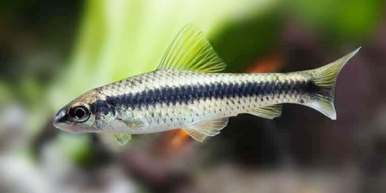 ficha del pez come algas siames