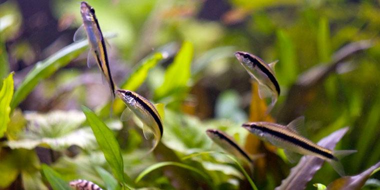 cuidados de los peces come algas siameses
