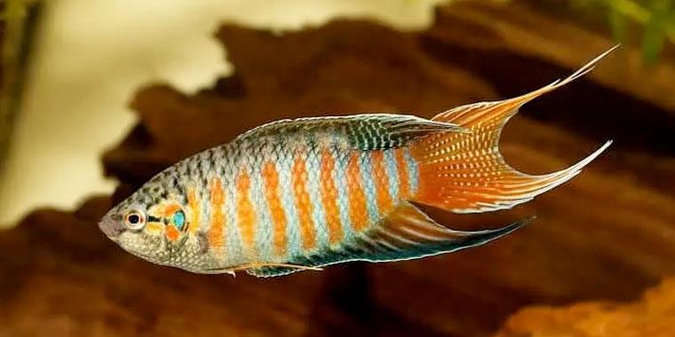 reproduccion del pez paraiso