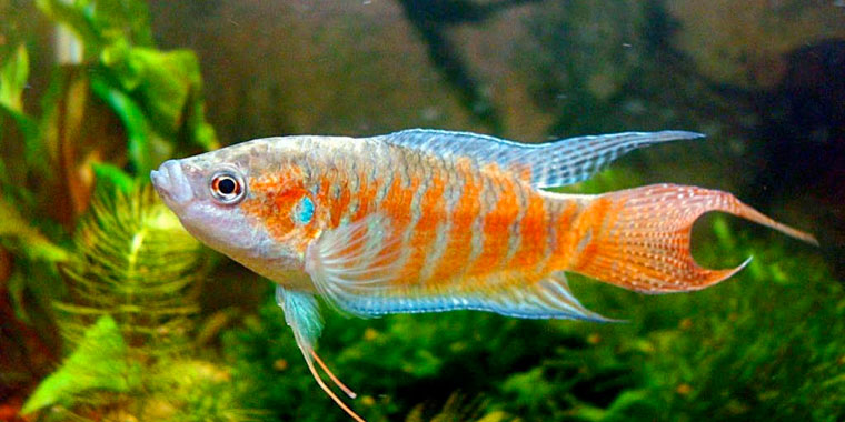 ficha del pez paraiso gurami